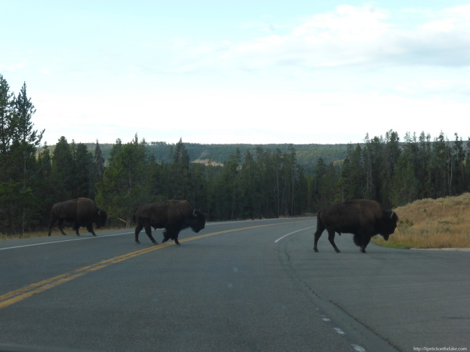 Yellowstone-National-Park-Bison